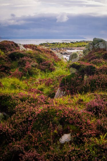 heather and grass by the sea