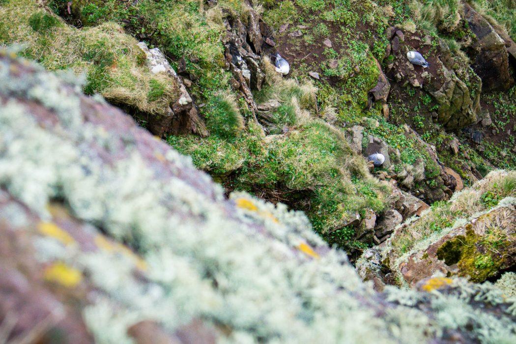 Nesting fulmars on Handa Island.