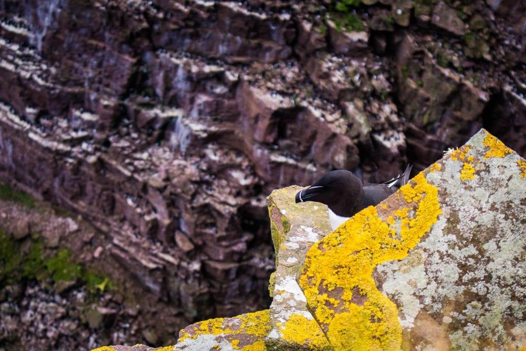 A Razorbill nesting on Handa Island