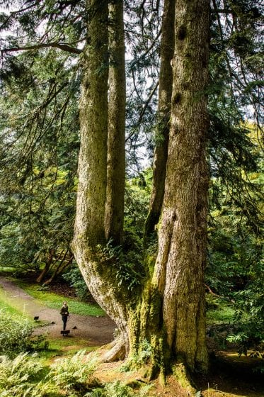 Giant tree with four trunks at Ardkinglas Woodland Garden