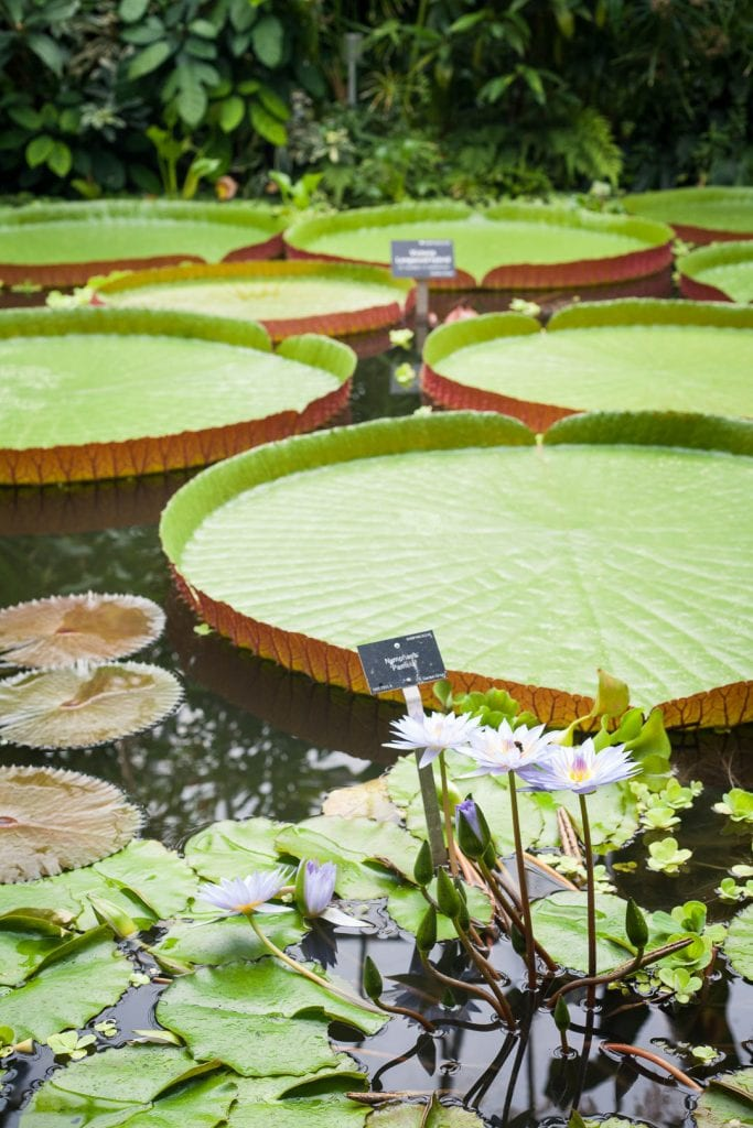 Water lilies at the Royal Botanic Garden in Edinburgh.
