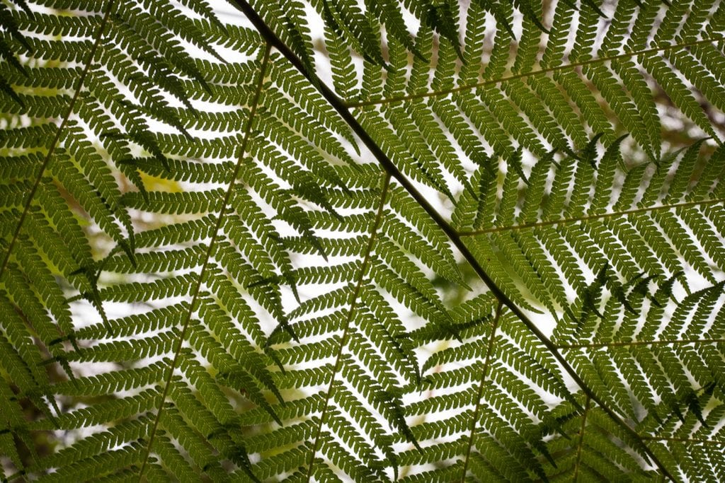 Fern at the Royal Botanic Garden in Edinburgh.