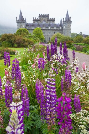 Purple flowers in front of Inveraray Castle