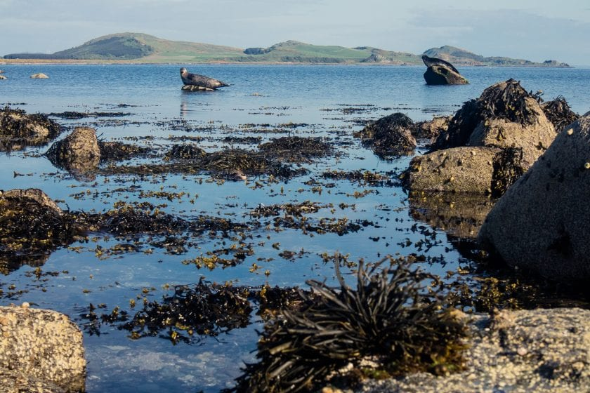 Seals at Scalpsie Bay on the Isle of Bute.